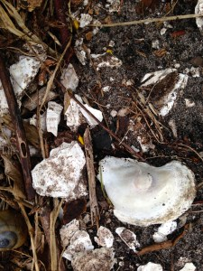 "Oyster and clam shells thousands of years old form the mound, the ""mount"" of Tuckahoe."