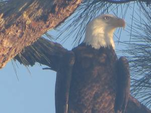 Eagle in area of Rio, as taken last week by wildlife photographer,