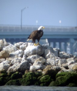 Eagle sitting near Bird Island just off of the Town of Sewall's Point. (Photo by Greg Braun, 2012.)