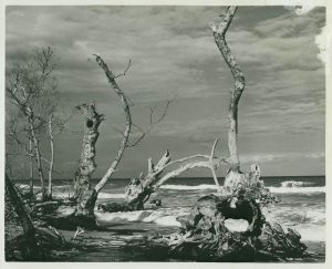 Old trees...(Whiticar ca. 1960)