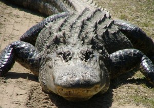 Alligator resting but always alert....(Public photo.)