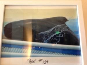 Ace the pilot whale.