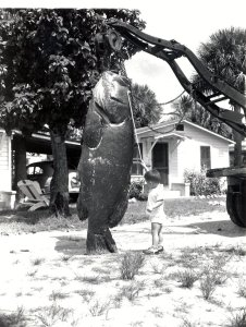 Little boy and giant grouper Jenen Beach 40 or 50s. Sandra Thurlow collection.