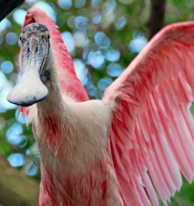 Close up of a roseate spoonbill, public photo.