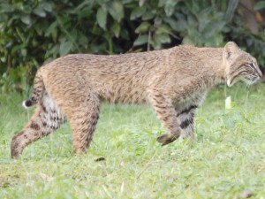 Sewall's Point bobcat 2008, Jackie Pearson.
