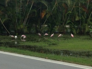 Roseate spoonbills along N Sewall's Point Road, photo Dr Dave Carson, 2013.