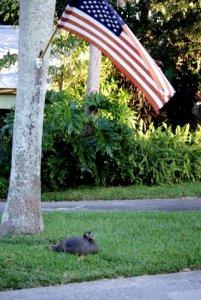 Wild turkey sitting under American Flag in Sewall's Point, 2008. JTL.