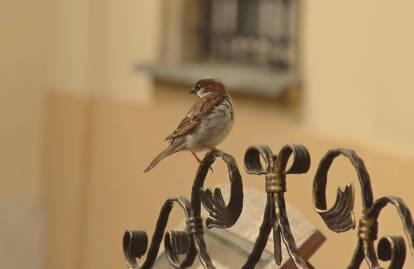 Śpiew ptaków wyznacza kierunek wędrówki