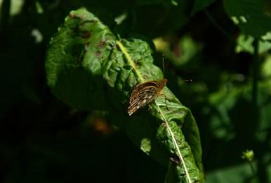 Lasiommata maera, osadnik kostrzewiec