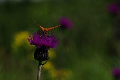 Motyle potrafią uderzać skrzydłami z częstotliwością od 300 do 5000 tysięcy uderzeń na minutę i osiągać w locie prędkość ponad 50 kilometrów na godzinę