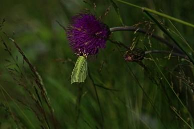 Karkonoski Park Narodowy ogłosił rok 2015 Rokiem Karkonoskich Motyli. Latolistek znalazł się również na tej honorowej liście: http://www.kpnmab.pl/pl/2015-motyle-karkonoszy,422