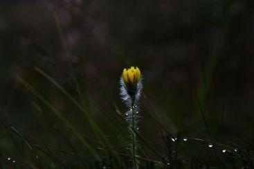 Biorąc pod uwagę żółty kolor kwiatów można by było domniemywać , że jest to jastrzębiec alpejski. Niestety sprawa nie jest taka prosta ponieważ w Polsce wyróżnia się od kilkudziesięciu do kilkuset gatunków tej rośliny, a ich całkowita liczba jest szacowana na ponad tysiąc.