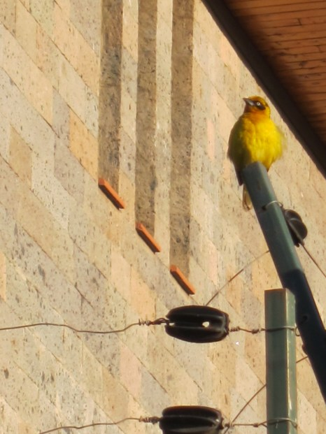 Pretty yellow bird...not sure what kind yet