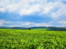 Tea field in Kericho