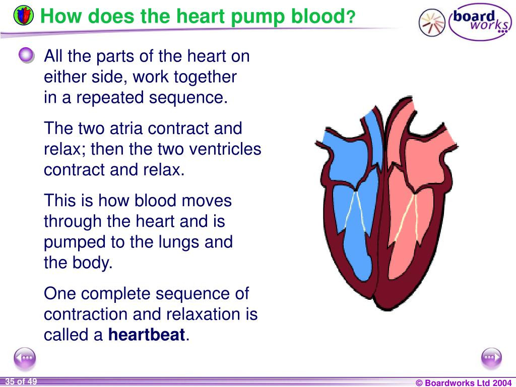 30 Heart Circulation Review Worksheet