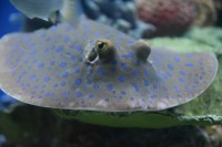 Blue spotted stingray, stingray, image by Jade Jackson