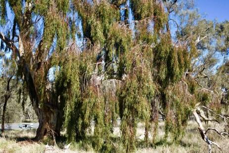 Weeping Yellow Gum Tree, Nhill, Victoria, Australia. Image ©️ Jade Jackson