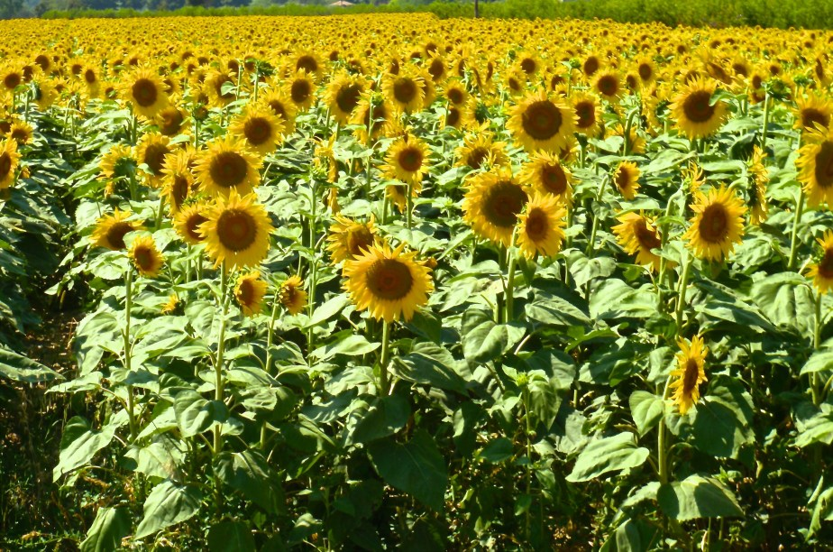 Sunflowers in Tuscany, Italy. Image by travel photographer, Jade Jackson.