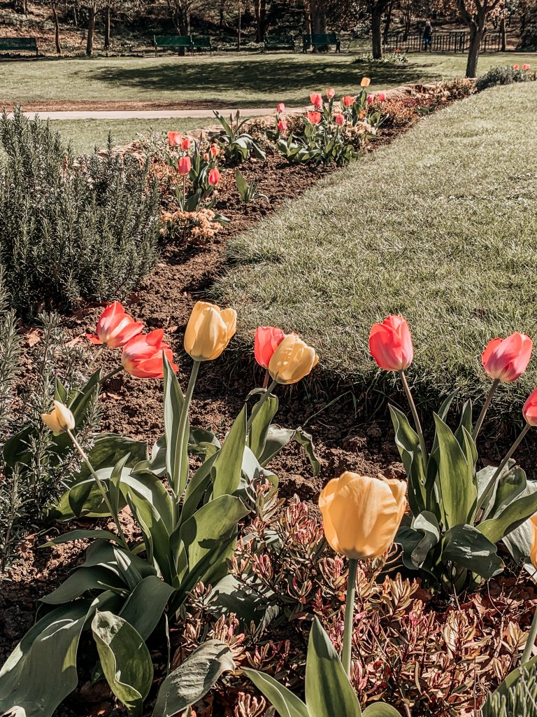 Tulips in the Park • Nature • Nature Photography • Spring