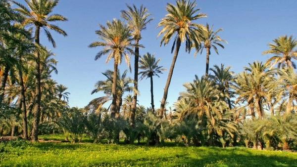 مصر تقيم أكبر مزرعة تمور في العالم بـ2.5 مليون نخلة