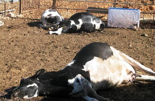 سطات: الحُمّى القلاعية تُصيبُ البقر بأولاد امراح