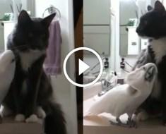 Ce cacatoès veut devenir ami avec ce chat. Mais va-t-il réussir à l'amadouer ?