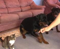 L'homme demande à ses chiens de rouler sur le sol, mais le chat aussi décide de le faire
