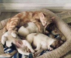 Après la perte de ses bébés, cette chatte adopte des chiots orphelins et les élève comme ses petits