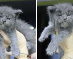 Ce chaton est né avec un visage mignon mais grincheux