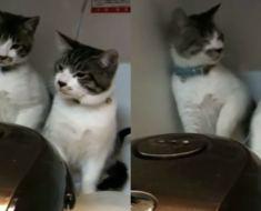 Ces chats sont énervés par un cuiseur à riz et leur réaction est digne d'un sketch