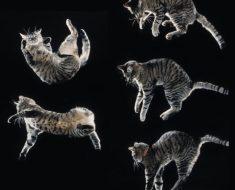 Comment le chat parvient-il à retomber sur ses pattes ?