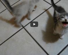 """Ce chaton mériterait d'avoir le record du monde du plus long """"miaaaaaaaou"""""""