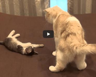 Ce chat a l'air très étonné par les drôles de gesticulations de ce chaton