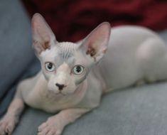 5 choses que vous ne saviez pas sur les chats Sphynx