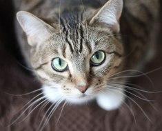 6 choses que vous ne saviez probablement pas sur les moustaches de chat