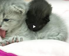 Ces petits chatons jumeaux veillent tendrement sur le chaton adoptif en l'absence de maman chat