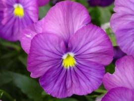 violet flowerviolet flower