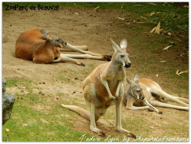 ZooParc de Beauval Kangaroo