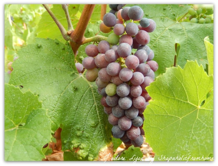 Gamay Grapes