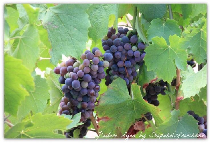 Grapes of Beaujolais