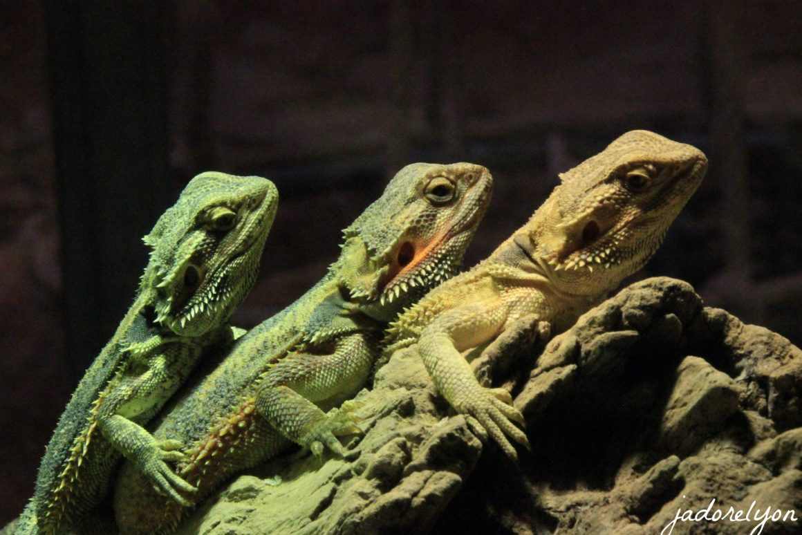 Lizards at Crocodiles Farm