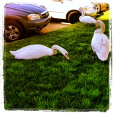 Swans in the Parking Lot