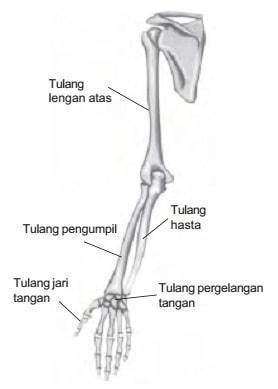 Fungsi Tulang Pengumpil - Artikel Belajar Biologi
