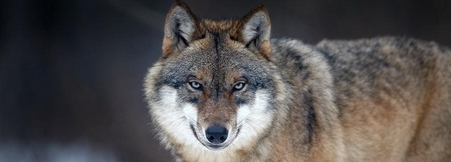 Waldbewohner: Der Wolf via @treierp