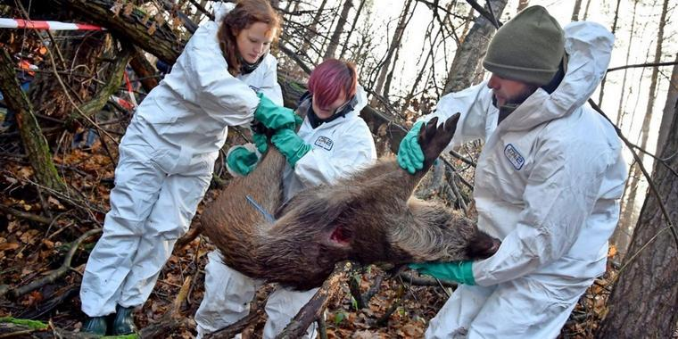 Bekämpfung der afrikanischen Schweinepest via @treierp