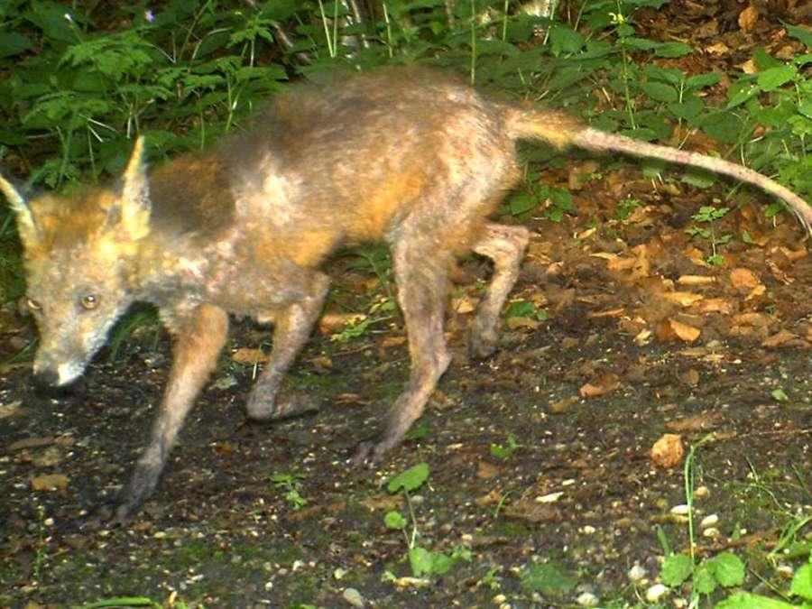 Fuchs der an der Räuder erkrankt ist