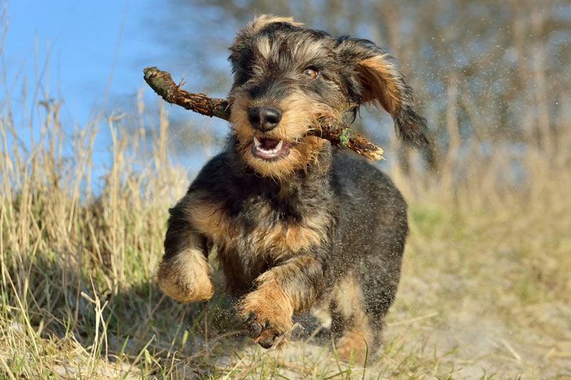 Jagdhunde: Dackel