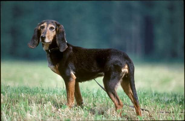 Jagdhunde: Niederlaufhund