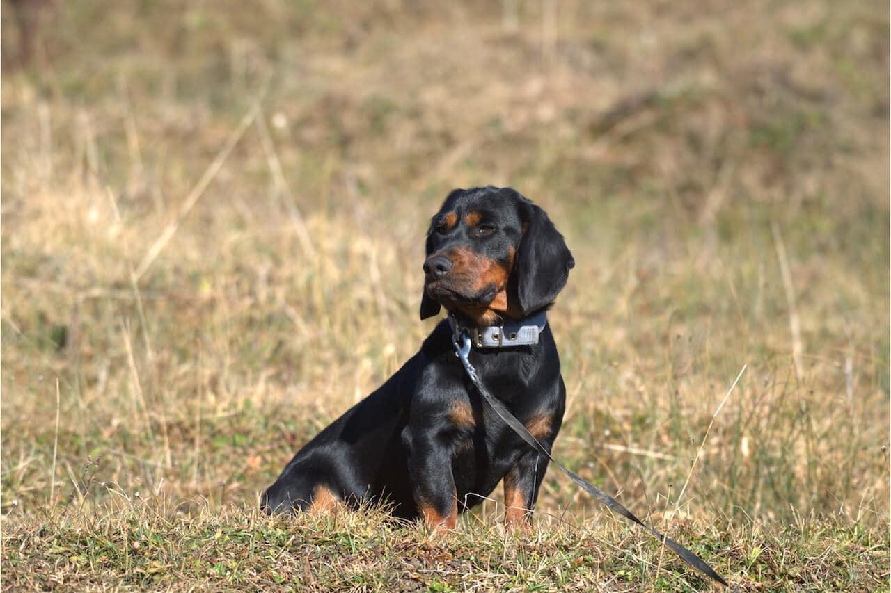 Jagdhunde: Schweisshunde via @treierp