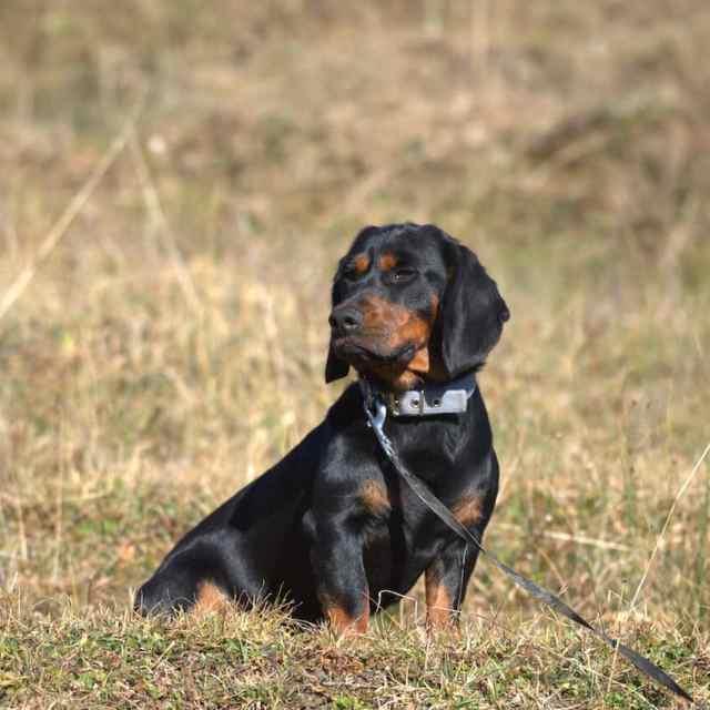 Jagdhunde: Schweisshunde